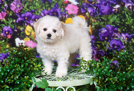 PUP 27 FA0015 01 © Kimball Stock Bichon Frise Puppy Standing On Chair In Garden