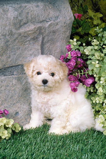 PUP 27 FA0016 01 © Kimball Stock Bichon Frise Puppy Sitting On Grass By Boulder In Garden