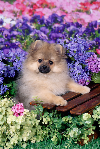 Pomeranian Puppy Leaning On Wooden Crate In Garden Kimballstock