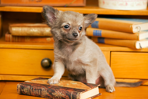 PUP 27 JE0001 01 © Kimball Stock Chihuahua Puppy Sitting By Book