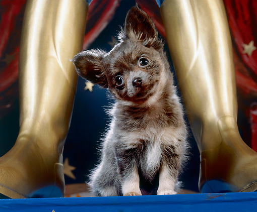 PUP 27 JE0002 01 © Kimball Stock Chihuahua Puppy Sitting Between Gold Boots