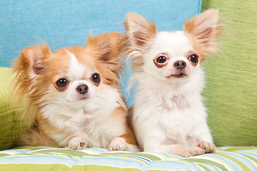 PUP 27 JE0003 01 © Kimball Stock Long-Haired Chihuahua Puppies Laying On Green And Blue Sofa