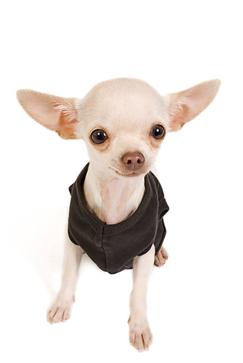 PUP 27 JE0004 01 © Kimball Stock Chihuahua Puppy Wearing Sweater Sitting On White Seamless