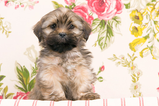 PUP 27 JE0008 01 © Kimball Stock Lhasa Apso Puppy Sitting On Cushion By Floral Design