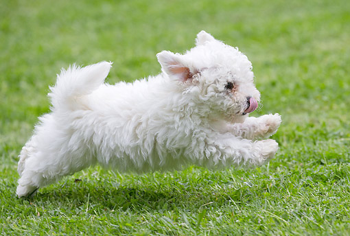 PUP 27 JE0015 01 © Kimball Stock Bichon Frise Puppy Running On Grass Profile