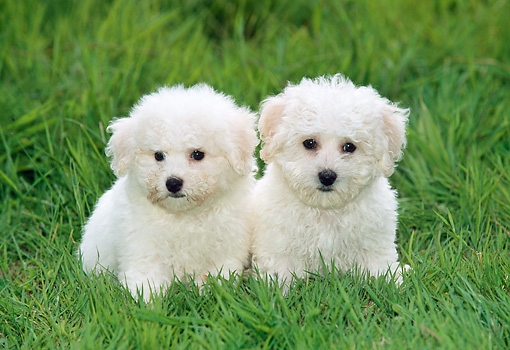PUP 27 KH0001 01 © Kimball Stock Bichon Frise Puppies Sitting In Grass