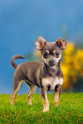 PUP 27 PE0002 01 © Kimball Stock Chihuahua Puppy Standing On Grass