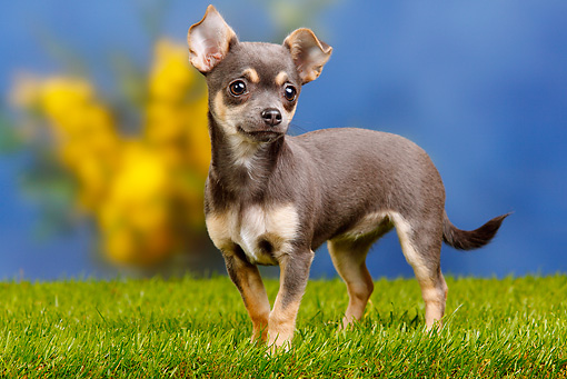 PUP 27 PE0003 01 © Kimball Stock Chihuahua Puppy Standing On Grass