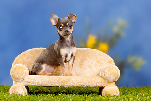 PUP 27 PE0004 01 © Kimball Stock Chihuahua Puppy Sitting On Sofa On Grass
