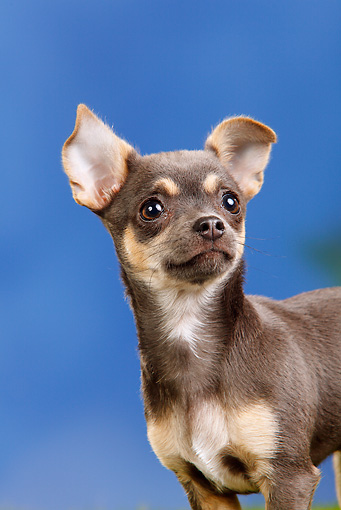 PUP 27 PE0005 01 © Kimball Stock Portrait Of Chihuahua Puppy Against Blue Sky