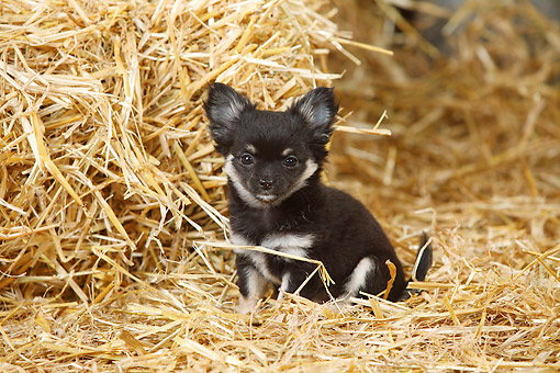 PUP 27 PE0007 01 © Kimball Stock Chihuahua Puppy Sitting In Hay
