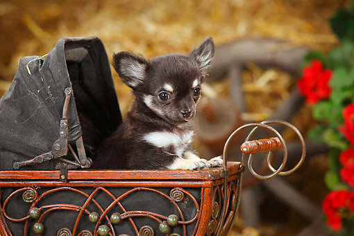 PUP 27 PE0008 01 © Kimball Stock Chihuahua Puppy Sitting In Miniature Baby Carraige By Hay