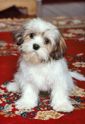 PUP 27 RK0037 12 © Kimball Stock Lhasa Apso Puppy Resting  On Red Rug
