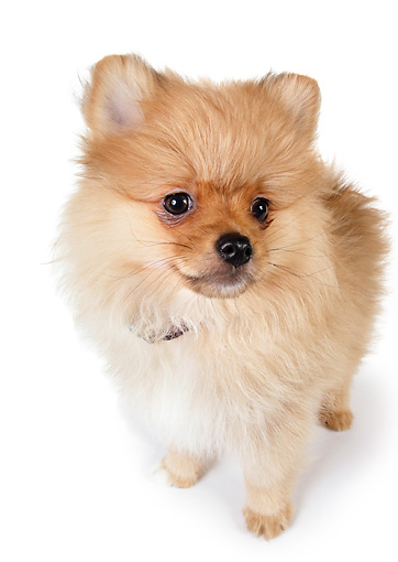 PUP 27 RK0115 01 © Kimball Stock Close Up Of Pomeranian Puppy On White Box White Seamless