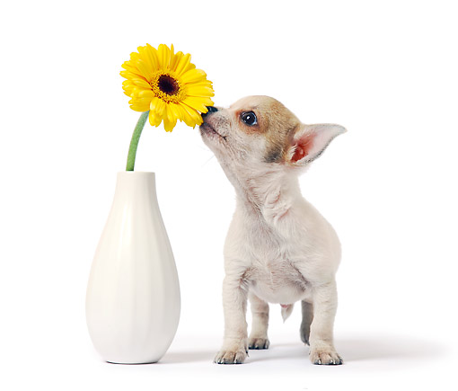 PUP 27 XA0002 01 © Kimball Stock Chihuahua Puppy Sniffing Flower In Studio