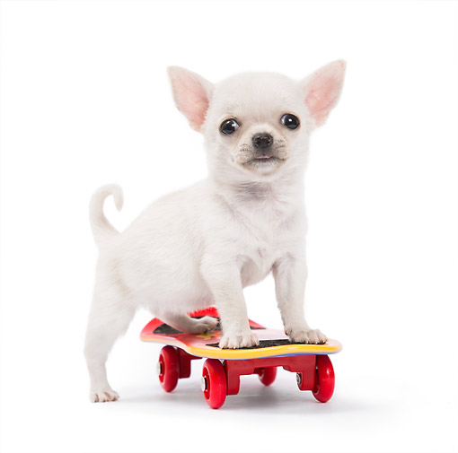 PUP 27 XA0008 01 © Kimball Stock Chihuahua Puppy Riding Little Skateboard In Studio