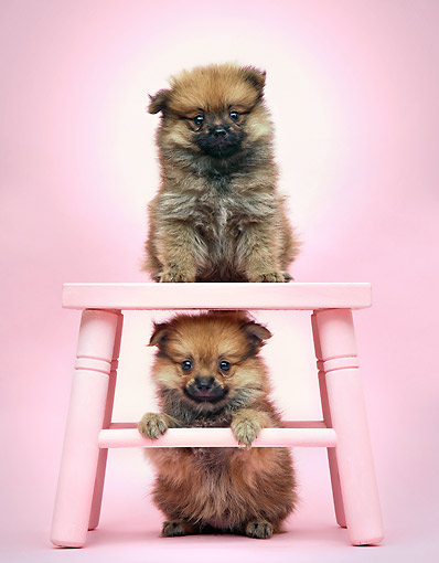 PUP 27 XA0009 01 © Kimball Stock Pomeranian Puppies Standing With Pink Stool