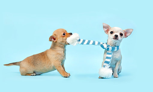 PUP 27 XA0015 01 © Kimball Stock Chihuahua Puppies Fighting Over Scarf
