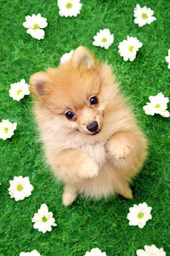 PUP 27 XA0017 01 © Kimball Stock Pomeranian Puppy Sitting In Grass With Flowers