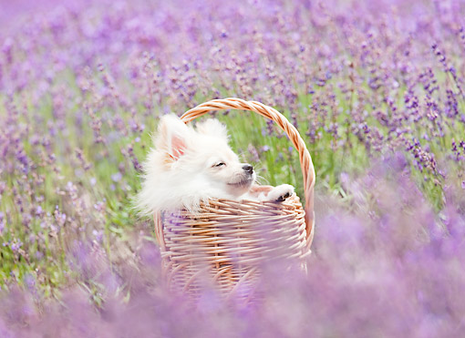 PUP 27 YT0034 01 © Kimball Stock Pomeranian Puppy Sleeping In Basket In Field Of Wildflowers