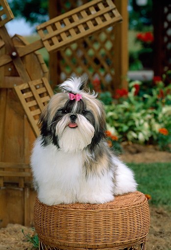 PUP 27 CE0002 01 © Kimball Stock Shih Tzu Puppy Sitting On Wicker Stool By Windmill