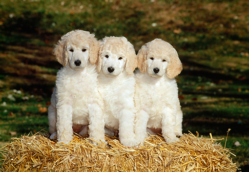 PUP 27 CE0003 01 © Kimball Stock Three Standard Poodle Puppies Sitting On Hay Bale