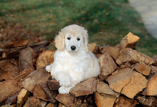 PUP 27 CE0004 01 © Kimball Stock Standard Poodle Puppy Laying On Woodpile