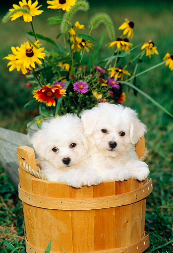 PUP 27 CE0006 01 © Kimball Stock Two Bichon Frise Puppies Standing In Wooden Bucket By Flowers