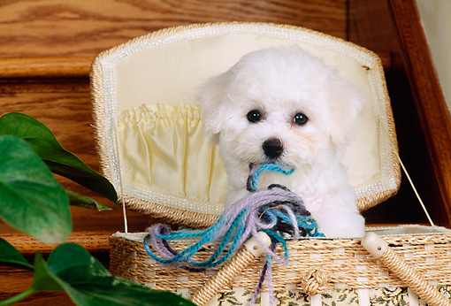 PUP 27 CE0008 01 © Kimball Stock Bichon Frise Puppy Playing With Yarn In Sewing Basket
