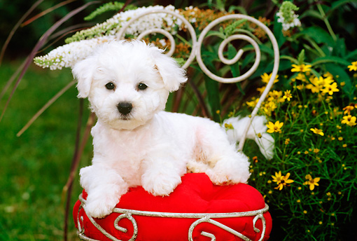 PUP 27 CE0009 01 © Kimball Stock Bichon Frise Puppy Laying On Chair With Red Cusion In Garden