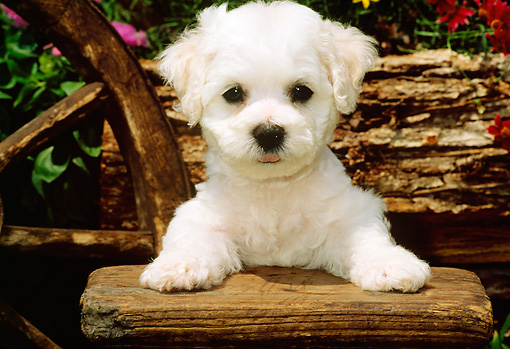 PUP 27 CE0011 01 © Kimball Stock Shoulder Shot Of Bichon Frise Puppy Standing By Bench Log Flowers Wagon Wheel