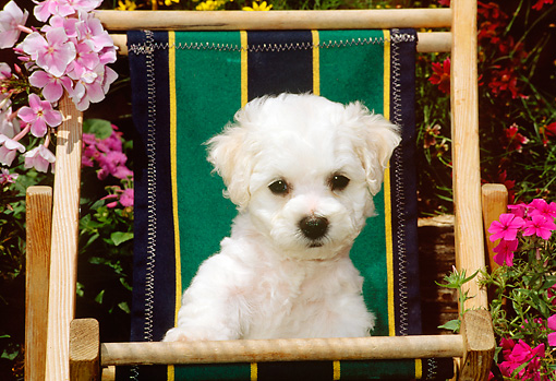 PUP 27 CE0012 01 © Kimball Stock Shoulder Shot Of Bichon Frise Puppy Sitting In Beach Chair By Flowers