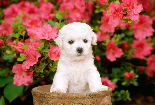 PUP 27 CE0014 01 © Kimball Stock Bichon Frise Puppy Standing In Planter By Flowers