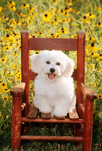 PUP 27 CE0016 01 © Kimball Stock Bichon Frise Puppy Sitting On Wooden Chair By Flowers