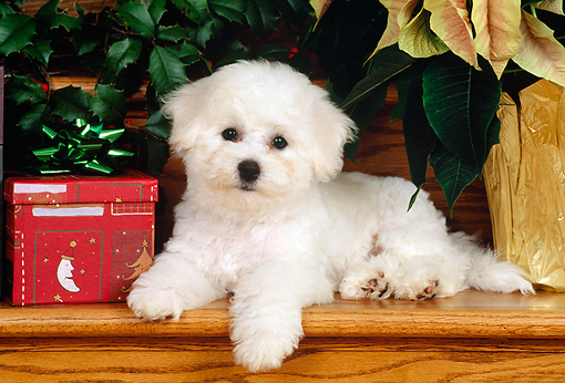 PUP 27 CE0018 01 © Kimball Stock Bichon Frise Puppy Laying On Stairs By Christmas Present
