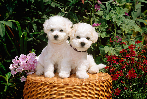 PUP 27 CE0020 01 © Kimball Stock Two Bichon Frise Puppies Sitting On Wicker Stool By Flowers