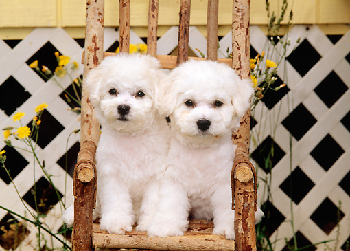 PUP 27 CE0022 01 © Kimball Stock Two Bichon Frise Puppies Sitting On Wooden Chair By House