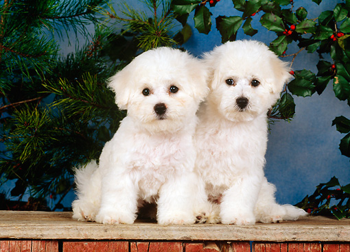 PUP 27 CE0024 01 © Kimball Stock Two Bichon Frise Puppies Sitting On Wooden Platform By Plants