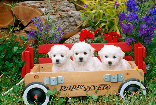 PUP 27 CE0025 01 © Kimball Stock Three Bichon Frise Puppies Sitting In Wagon By Flowers In Garden