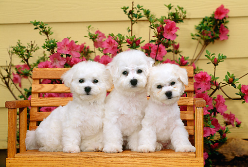PUP 27 CE0027 01 © Kimball Stock Three Bichon Frise Puppies Sitting On Wooden Bench By Pink Flowering Shrub By House