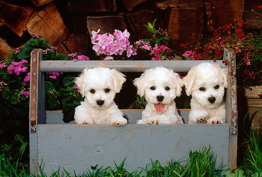 PUP 27 CE0028 01 © Kimball Stock Three Bichon Frise Puppies Standing In Blue Wooden Toolbox By Flowers And Woodpile