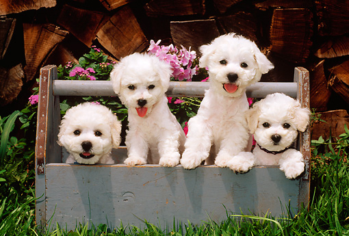 PUP 27 CE0029 01 © Kimball Stock Four Bichon Frise Puppies Standing In Blue Wooden Toolbox By Flowers And Woodpile