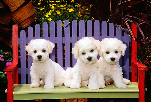 PUP 27 CE0030 01 © Kimball Stock Three Bichon Frise Puppies Sitting On Colorful Wooden Bench By Flowers And Woodpile