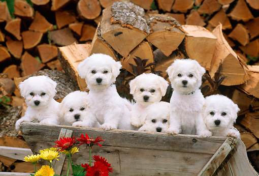PUP 27 CE0031 01 © Kimball Stock Seven Bichon Frise Puppies Standing In Wheelbarrow By Flowers And Woodpile