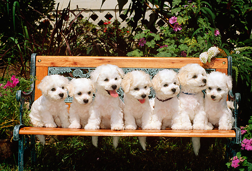 PUP 27 CE0032 01 © Kimball Stock Seven Bichon Frise Puppies Sitting On Bench In Garden