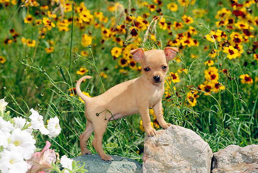 PUP 27 CE0034 01 © Kimball Stock Chihuahua Puppy Standing On Rock By Yellow Flowers