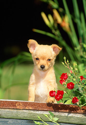 PUP 27 CE0035 01 © Kimball Stock Shoulder Shot Of Chihuahua Puppy Standing Behind Wooden Cart By Red Flowers