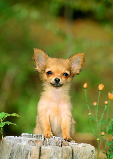 PUP 27 CE0036 01 © Kimball Stock Shoulder Shot Of Chihuahua Puppy Standing Behind Post