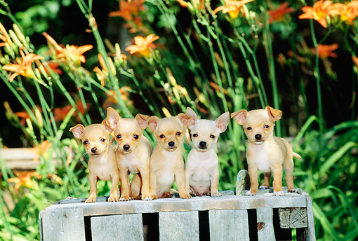 PUP 27 CE0038 01 © Kimball Stock Five Chihuahua Puppies Sitting On Wooden Crate By Flowers