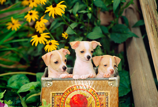 PUP 27 CE0039 01 © Kimball Stock Three Chihuahua Puppies Sitting In Apple Box By Yellow Flowers